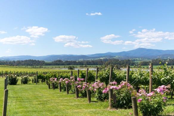 Wine-Yarra-Valley-Australia-18