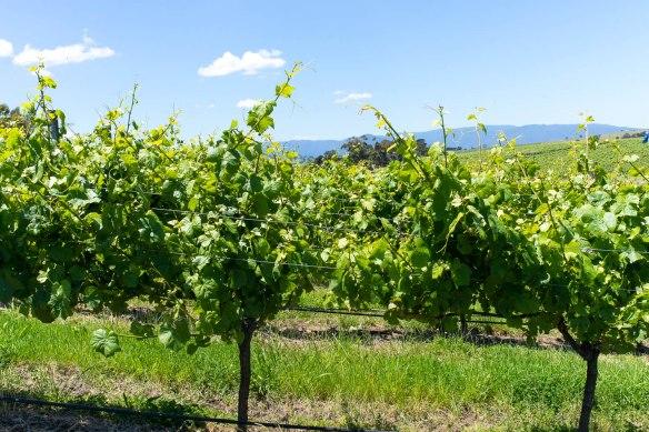 Wine-Yarra-Valley-Australia-7